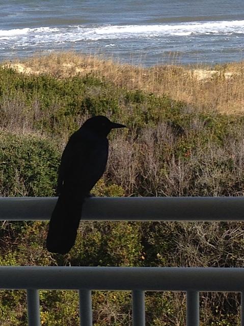 Grackel visiting me last week on my writing retreat.