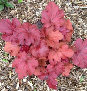 heuchera or coral bells