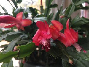 My Christmas cactus always blooms at Thanksgiving!